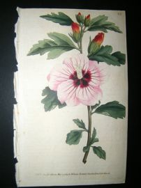 Curtis 1789 Hand Col Botanical Print. Syrian Hibiscus 83